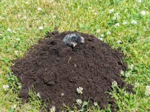 Large dirt mound moles trap