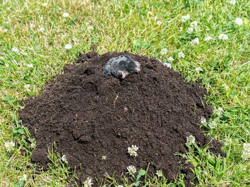 Large dirt mound moles trap