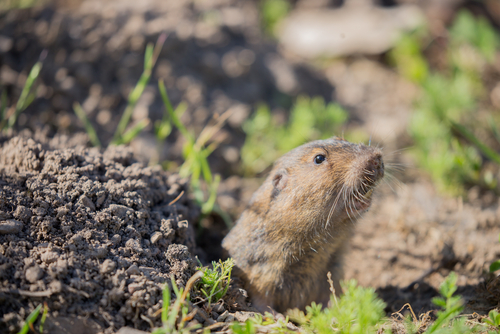 pocket gopher trapping 37205
