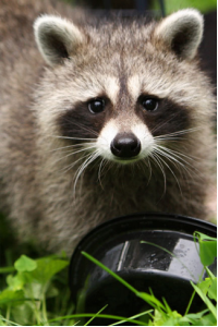 Raccoon trap & removal Nashville