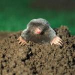 Getting rid of moles lawn 37210