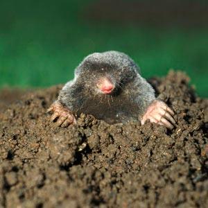 Mole Control Nashville Animal Removal Molenator