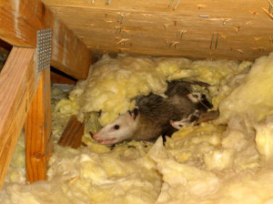 oppossum-attic-infestation