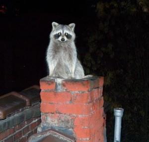 raccoon_entering_house_37205