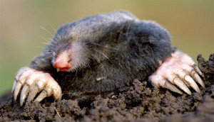 Moles Removed from Yard in Nashville