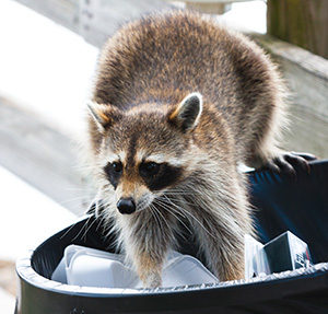 racoon-cropped