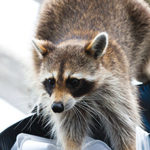 racoon-cropped2