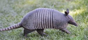 armadillo critter removal services 37069