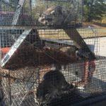 trapped-raccoons-green-hills-tn-37205