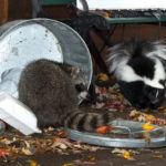 Raccoon (Procyon lotor) and Skunk (Mephitis mphitis) Raid Trash - captive animals