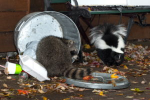 Raccoon (Procyon lotor) and Skunk (Mephitis mphitis) Raid Trash - captive animals