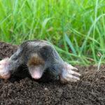 mole digging Nashville TN pest