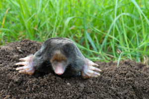 mole digging Nashville TN pest