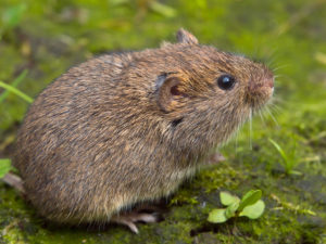 Voles Moles Difference