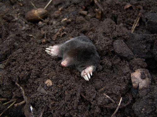 Garden Mole Animals in Dirt