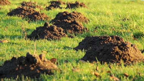 mole hills Bellevue TN