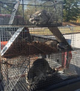 animal removal services raccoons